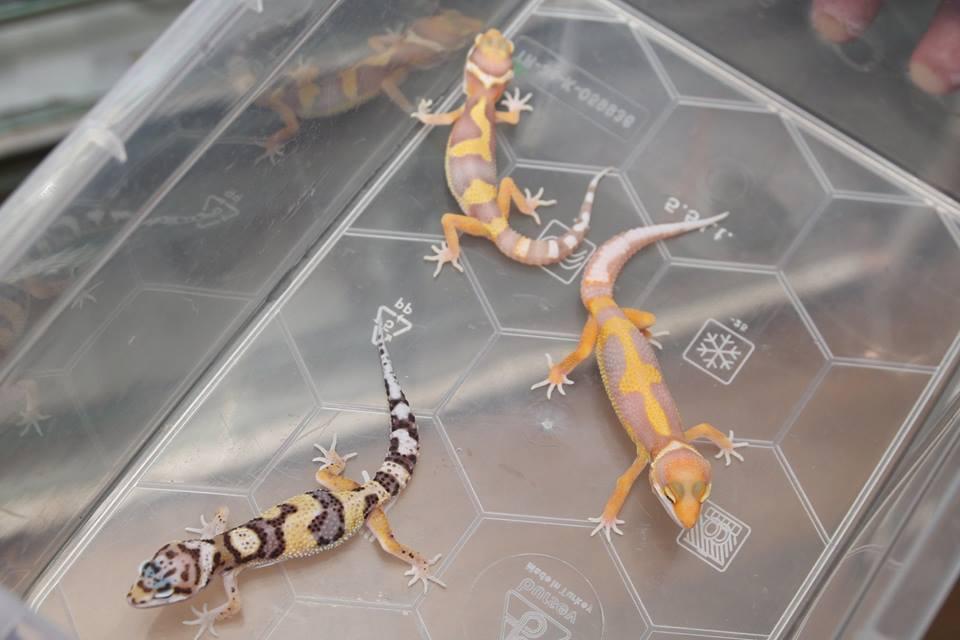 Леопардови гекони - бебета